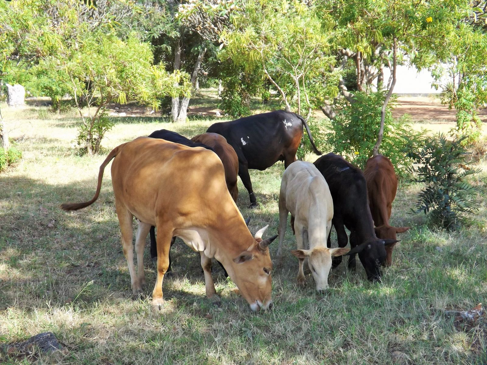 The Zebu cattle on the school grounds