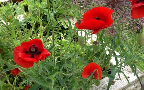 Beautiful Poppies grown by the children at Hackforth and Hornby C of E Primary School, Bedale
