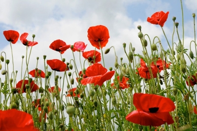 Poppies in Normandy